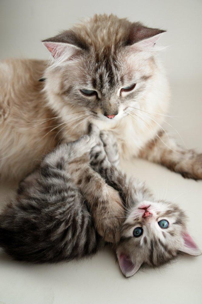 SASH Cat and Kitten