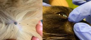 ticks on dog cat