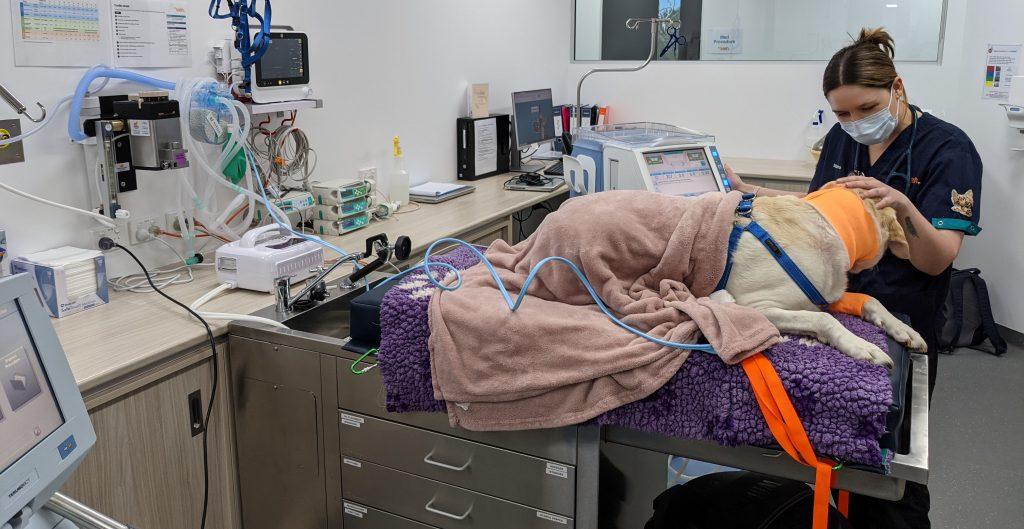 dog receiving dialysis